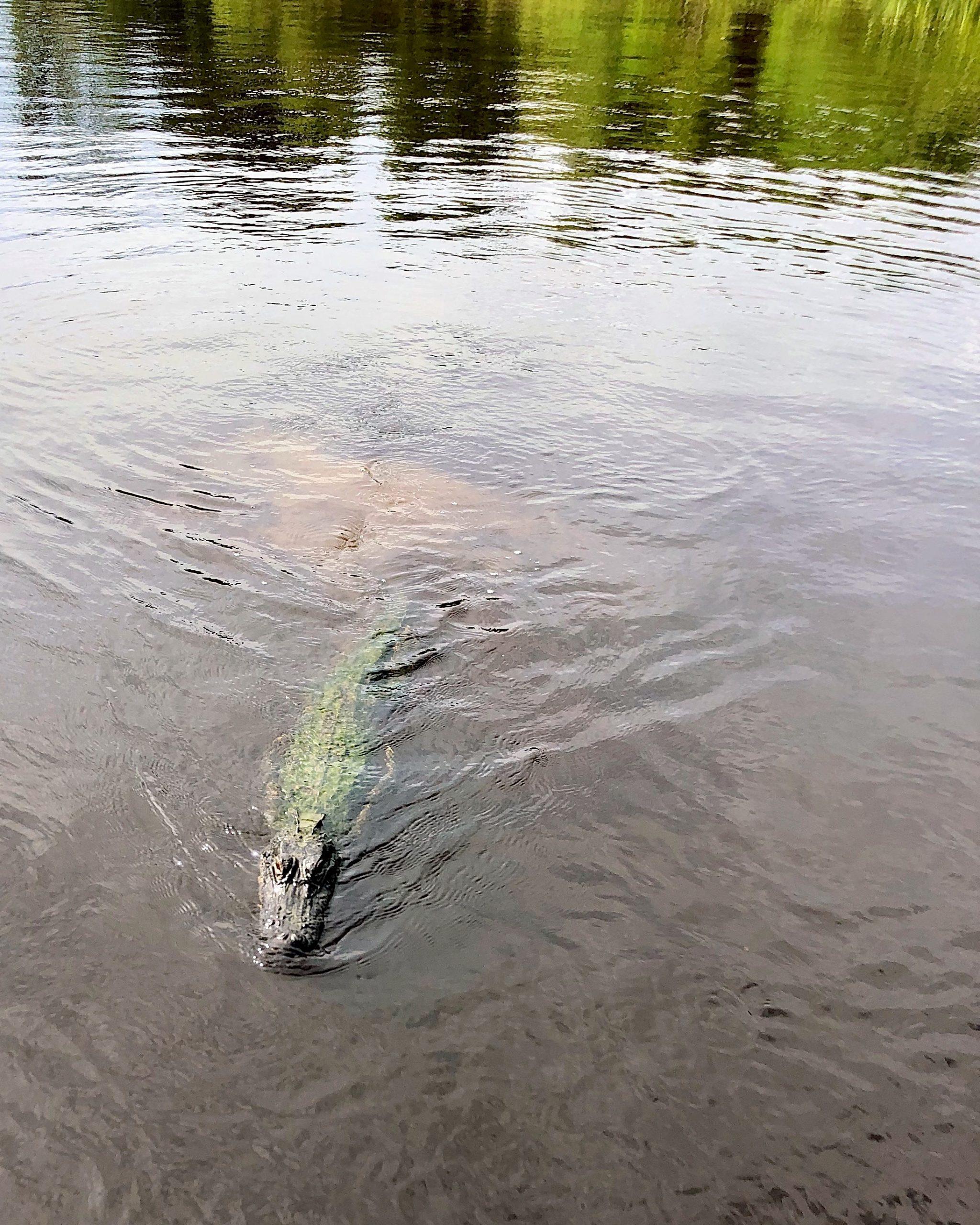 Alligator swamp tour